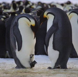 penguin birth